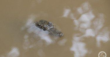Panama, Krokodyl