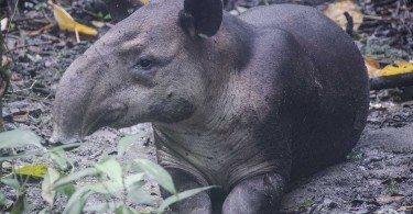 Tapir, Kostaryka Corcovado