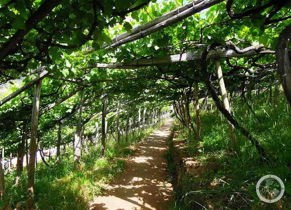 Levada du Norte -ścieżka podwinoroślami