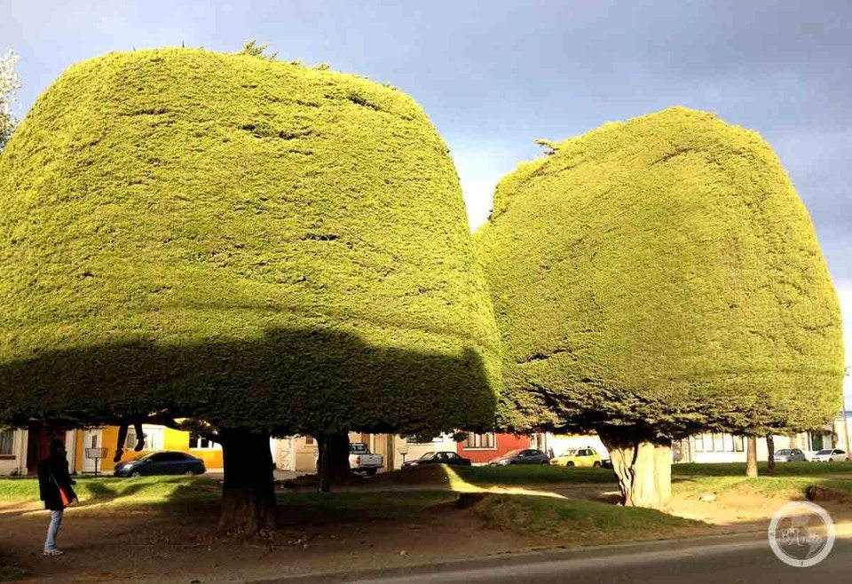 Drzewa w Punta Arenas
