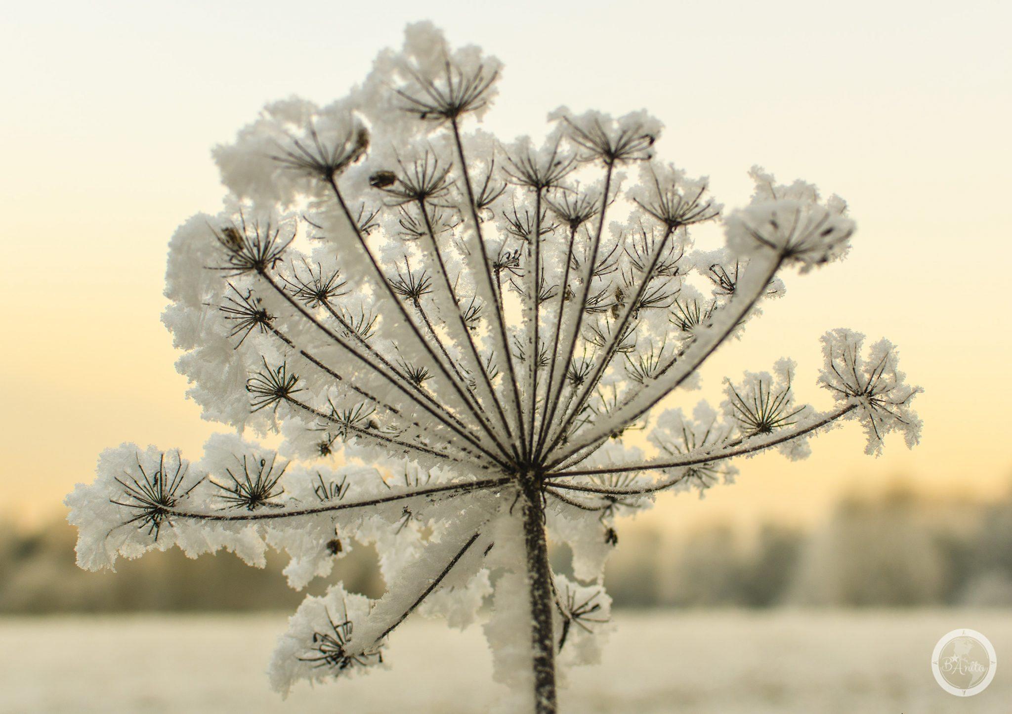 Oszroniony uschnięty kwiat rośliny baldaszkowej natle nieba.