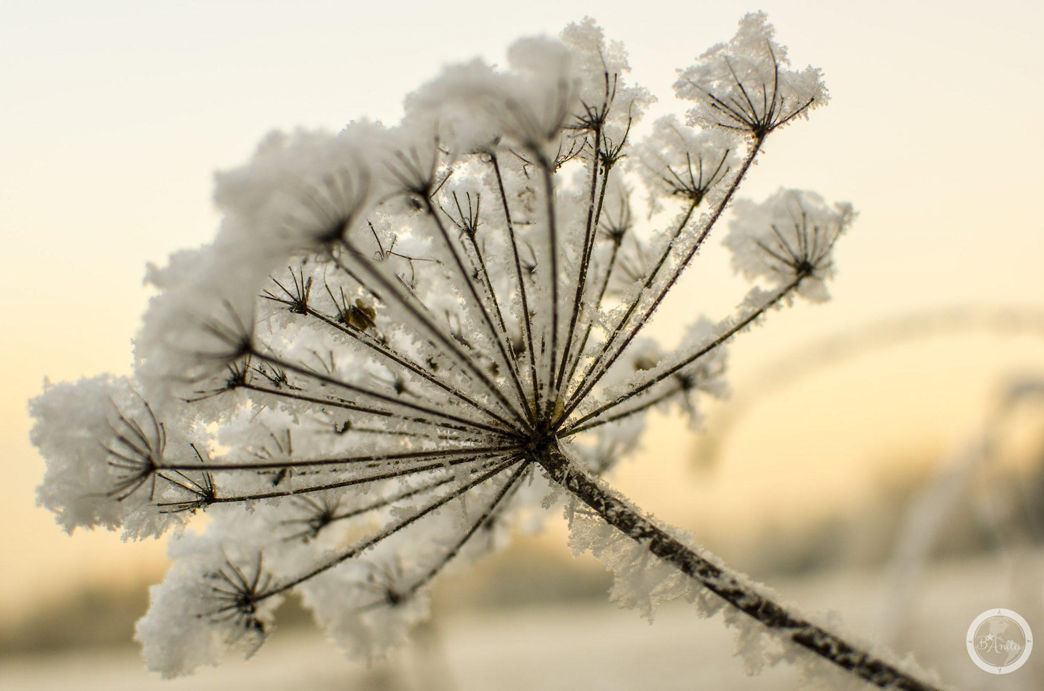 ośnieżony kwiat rośliny baldaszkowej