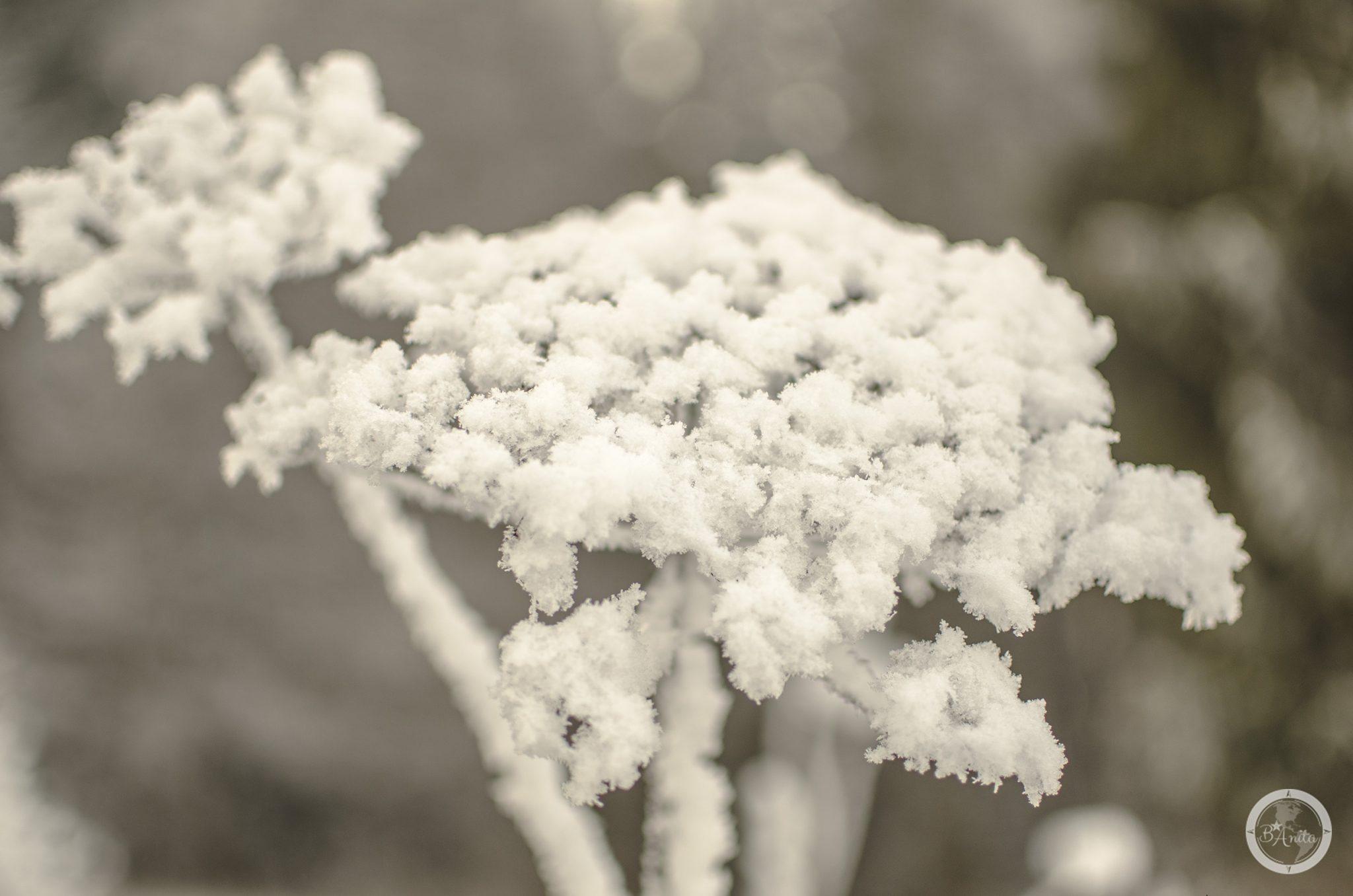 ośnieżony suchy kwiat rośliny baldaszkowej