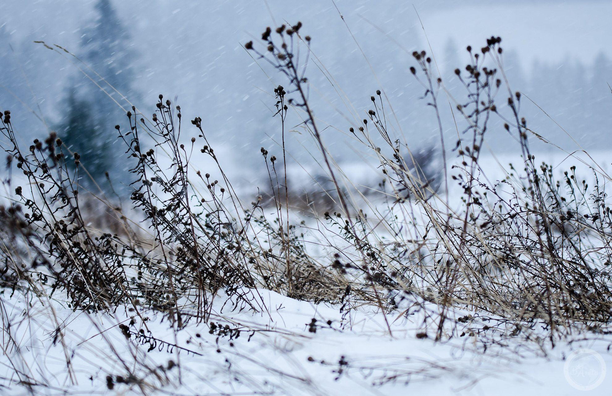 Zamieć wPieninach. Napierwszym planie uschnięte rośliny, wtle widać szalejącą śnieżycę.