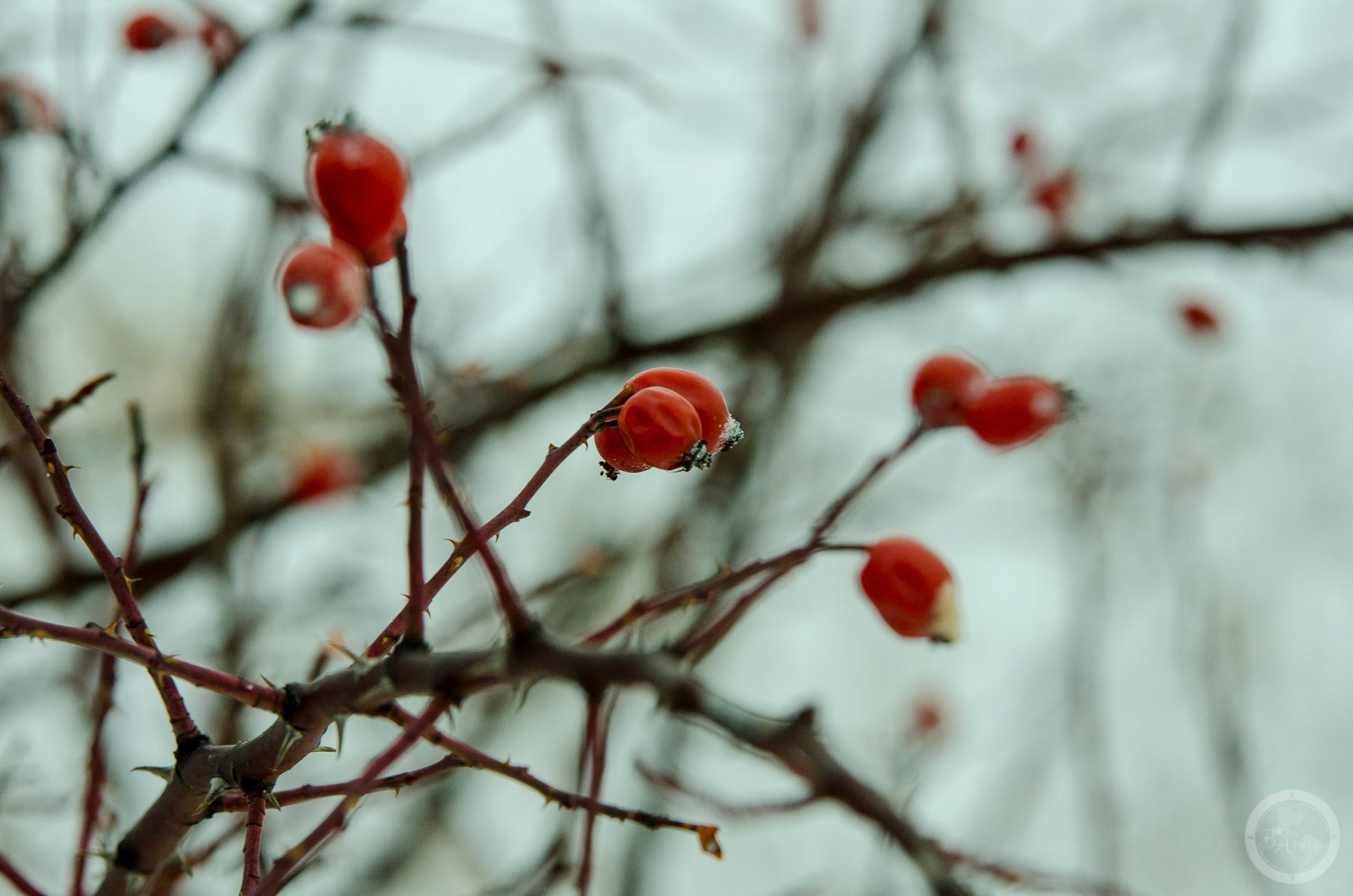 Zbliżenie naczerwone owoce dzikiej róży