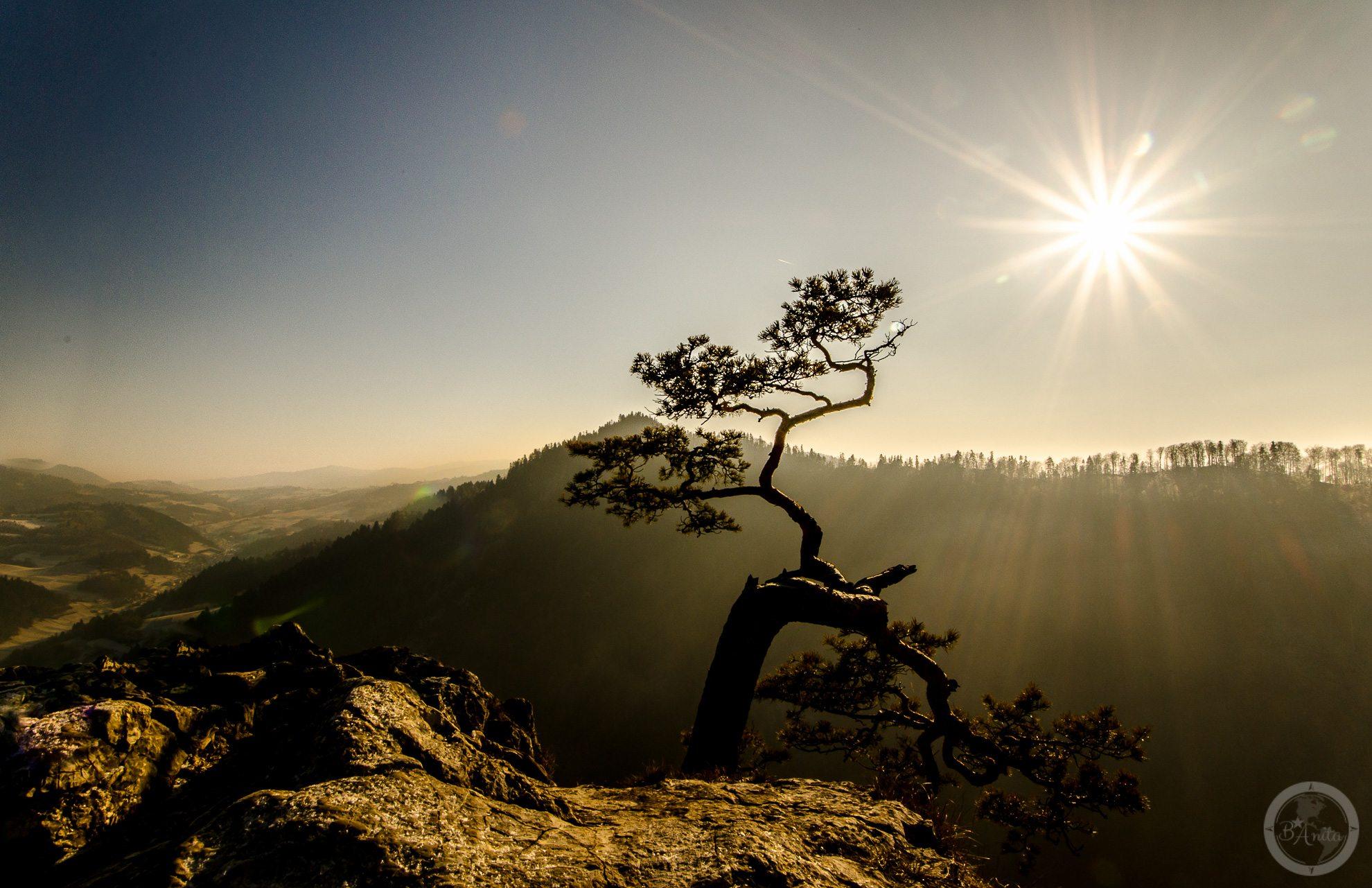 Najsłynniejsze drzewo wPolsce, czyli reliktowa sosna rosnaca wPienińskim Parku Narodowym naszczycie Sokolica. Zdjęcie wzłocistych barwach.