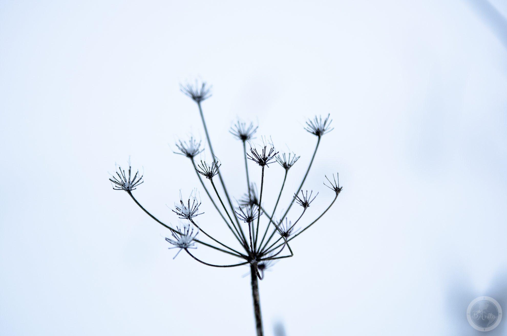 Uschnięta roślina baldaszkowa natle białego śniegu tworzy graficzną kompozycję
