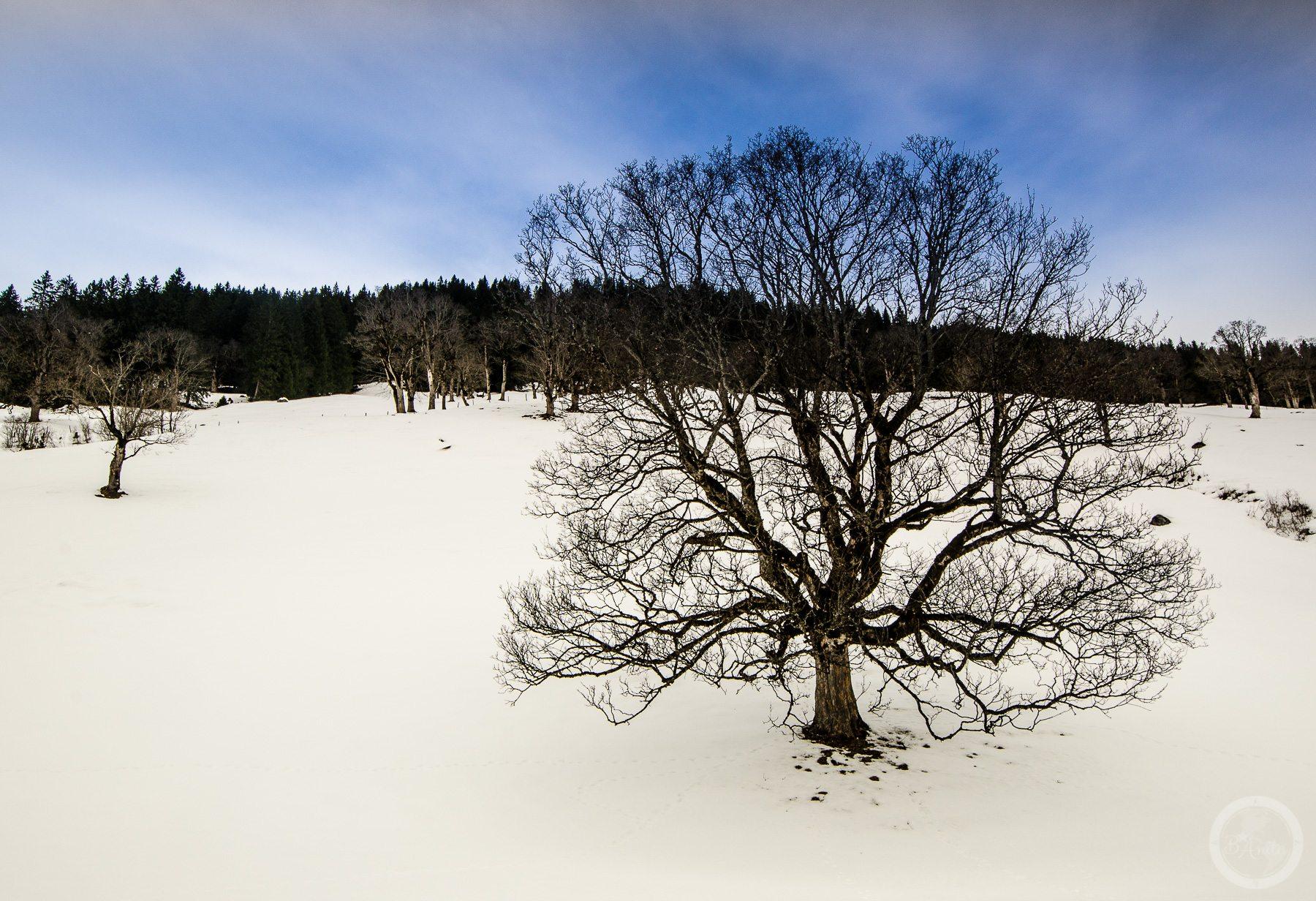 Samotne drzewo na ośnierzonej polanie. Schwarzwaldalp, Szwajcaria